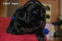 Jasper - mit leicht lohfarbenen Augenbrauen